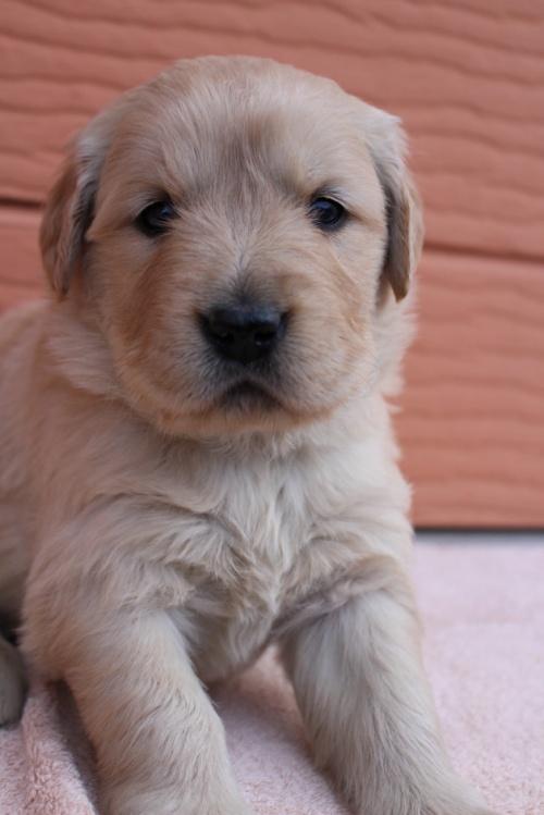 ゴールデンレトリバーの子犬(ID:1247411490)の2枚目の写真/更新日:2020-01-13