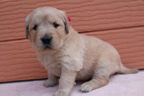 ゴールデンレトリバーの子犬(ID:1247411490)の3枚目の写真/更新日:2018-02-19