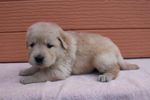 ゴールデンレトリバーの子犬(ID:1247411492)の2枚目の写真/更新日:2018-03-03