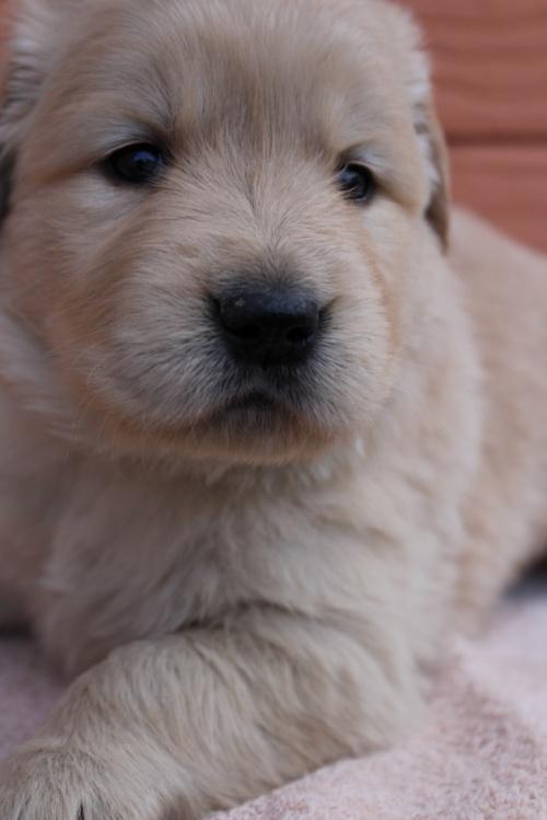 ゴールデンレトリバーの子犬(ID:1247411492)の3枚目の写真/更新日:2020-01-13