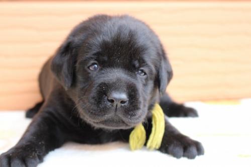 ラブラドールレトリバーの子犬(ID:1247411494)の1枚目の写真/更新日:2018-12-07