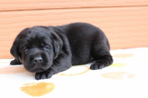 ラブラドールレトリバーの子犬(ID:1247411494)の3枚目の写真/更新日:2018-12-07