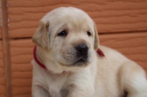 ラブラドールレトリバーの子犬(ID:1247411495)の1枚目の写真/更新日:2018-03-27