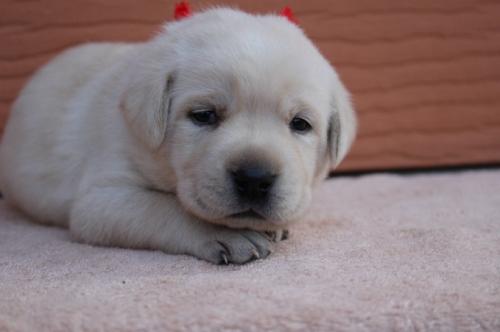 ラブラドールレトリバーの子犬(ID:1247411496)の1枚目の写真/更新日:2018-03-27
