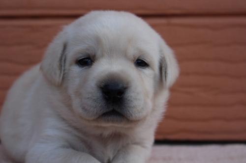 ラブラドールレトリバーの子犬(ID:1247411496)の2枚目の写真/更新日:2018-03-27