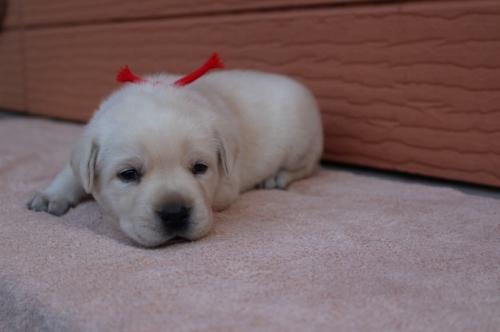 ラブラドールレトリバーの子犬(ID:1247411496)の4枚目の写真/更新日:2019-11-22