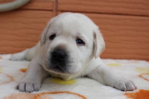ラブラドールレトリバーの子犬(ID:1247411497)の1枚目の写真/更新日:2018-03-27