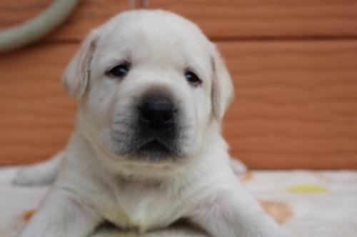 ラブラドールレトリバーの子犬(ID:1247411497)の2枚目の写真/更新日:2018-03-27
