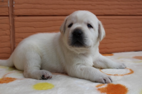 ラブラドールレトリバーの子犬(ID:1247411497)の3枚目の写真/更新日:2019-09-20