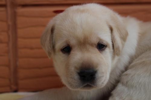 ラブラドールレトリバーの子犬(ID:1247411498)の1枚目の写真/更新日:2018-03-27