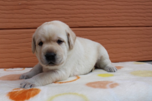 ラブラドールレトリバーの子犬(ID:1247411498)の2枚目の写真/更新日:2018-03-27