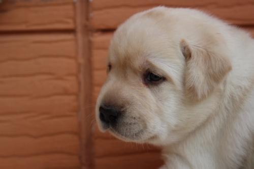 ラブラドールレトリバーの子犬(ID:1247411498)の3枚目の写真/更新日:2019-09-20