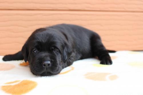 ラブラドールレトリバーの子犬(ID:1247411499)の2枚目の写真/更新日:2018-03-27