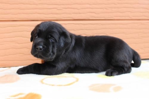 ラブラドールレトリバーの子犬(ID:1247411499)の3枚目の写真/更新日:2018-03-27
