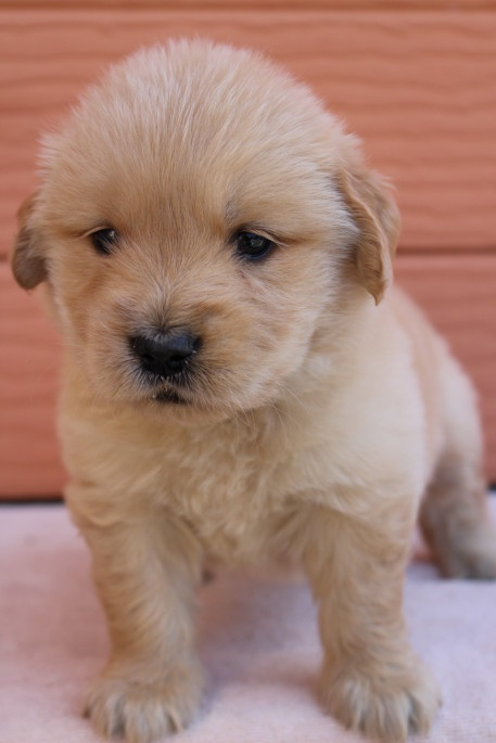 ゴールデンレトリバーの子犬(ID:1247411500)の2枚目の写真/更新日:2018-04-06