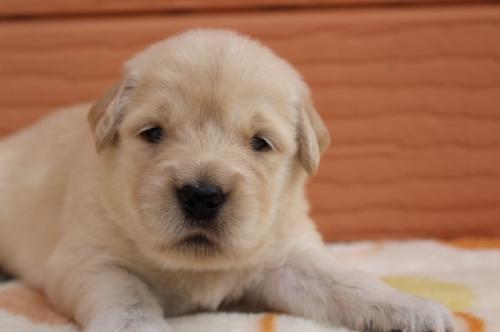 ゴールデンレトリバーの子犬(ID:1247411501)の1枚目の写真/更新日:2018-04-06