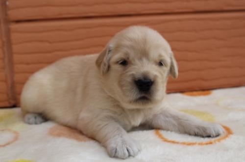ゴールデンレトリバーの子犬(ID:1247411501)の2枚目の写真/更新日:2018-04-06