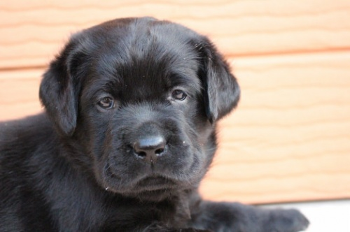 ラブラドールレトリバーの子犬(ID:1247411503)の1枚目の写真/更新日:2019-11-06