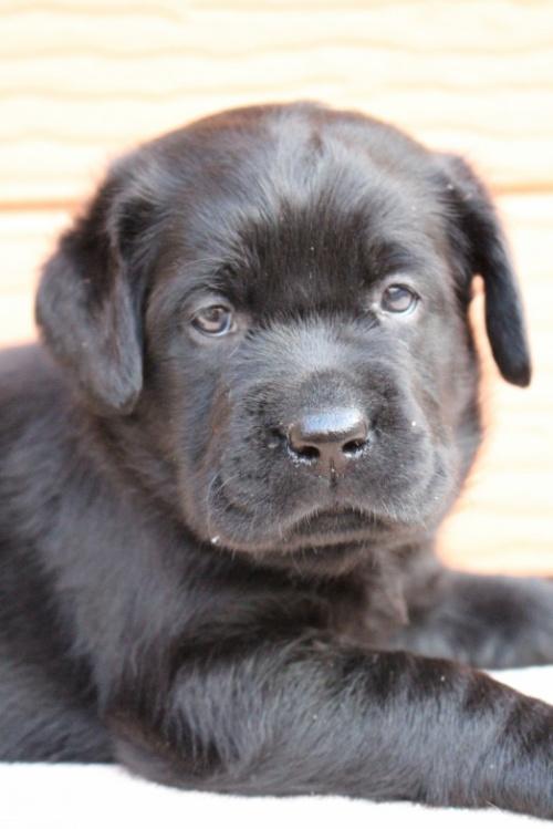 ラブラドールレトリバーの子犬(ID:1247411503)の2枚目の写真/更新日:2019-11-06