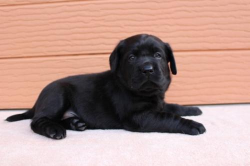 ラブラドールレトリバーの子犬(ID:1247411503)の3枚目の写真/更新日:2019-11-06