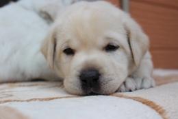 ラブラドールレトリバーの子犬(ID:1247411504)の1枚目の写真/更新日:2018-04-20