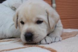 ラブラドールレトリバーの子犬(ID:1247411504)の2枚目の写真/更新日:2018-04-20