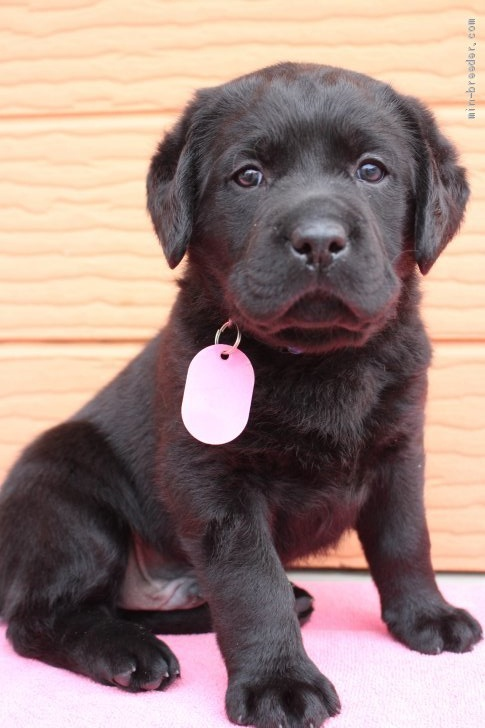 ラブラドールレトリバーの子犬(ID:1247411505)の2枚目の写真/更新日:2018-04-20