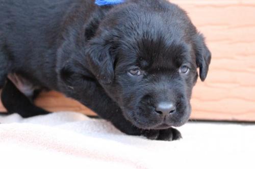 ラブラドールレトリバーの子犬(ID:1247411506)の1枚目の写真/更新日:2018-04-20