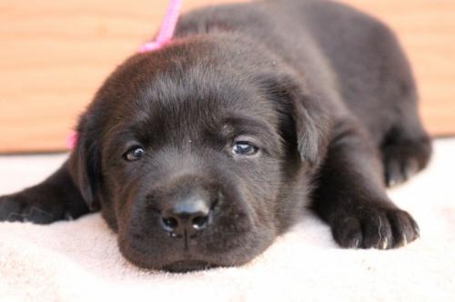 ラブラドールレトリバーの子犬(ID:1247411507)の1枚目の写真/更新日:2019-11-22