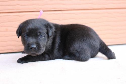 ラブラドールレトリバーの子犬(ID:1247411507)の2枚目の写真/更新日:2019-11-22