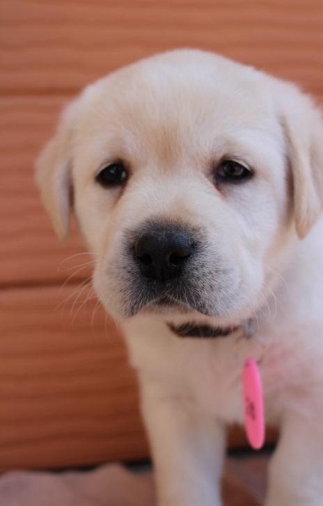 ラブラドールレトリバーの子犬(ID:1247411508)の1枚目の写真/更新日:2018-09-19