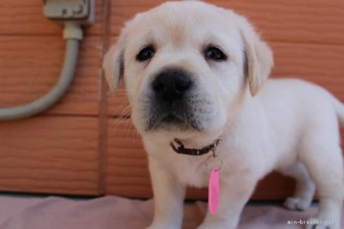 ラブラドールレトリバーの子犬(ID:1247411508)の2枚目の写真/更新日:2018-09-19
