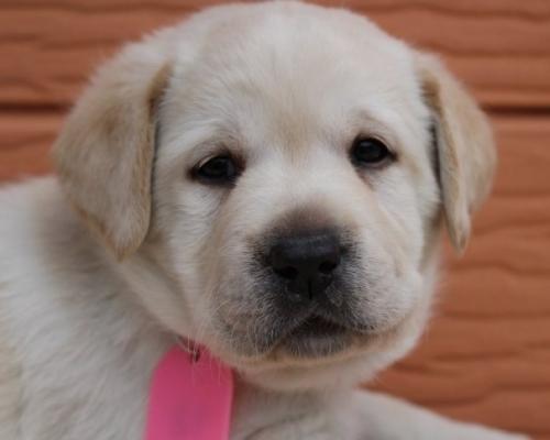 ラブラドールレトリバーの子犬(ID:1247411510)の1枚目の写真/更新日:2018-05-07