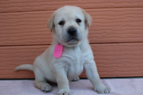 ラブラドールレトリバーの子犬(ID:1247411512)の1枚目の写真/更新日:2018-05-07