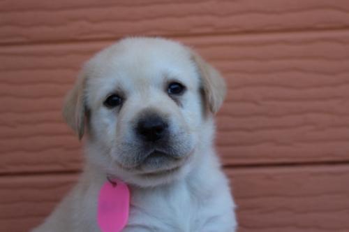 ラブラドールレトリバーの子犬(ID:1247411512)の2枚目の写真/更新日:2018-05-07