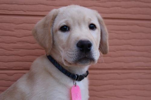 ラブラドールレトリバーの子犬(ID:1247411514)の1枚目の写真/更新日:2018-05-07
