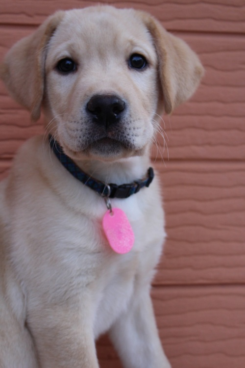 ラブラドールレトリバーの子犬(ID:1247411514)の2枚目の写真/更新日:2018-05-07