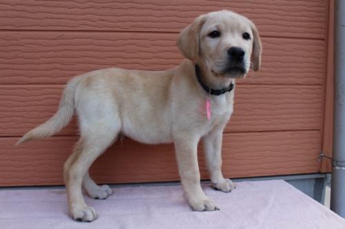 ラブラドールレトリバーの子犬(ID:1247411514)の3枚目の写真/更新日:2018-05-07