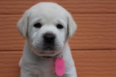 ラブラドールレトリバーの子犬(ID:1247411515)の1枚目の写真/更新日:2018-09-19