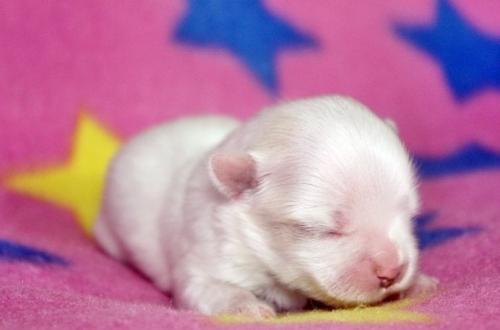 マルチーズの子犬(ID:1247611106)の1枚目の写真/更新日:2016-12-25