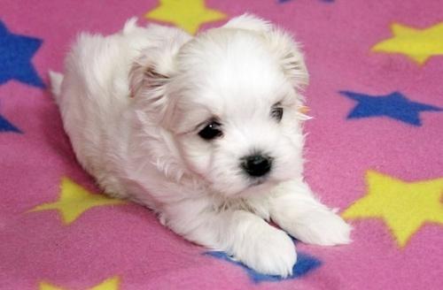 マルチーズの子犬(ID:1247611109)の1枚目の写真/更新日:2017-02-07