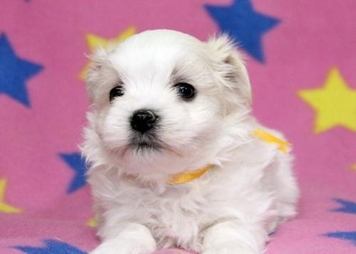 マルチーズの子犬(ID:1247611109)の2枚目の写真/更新日:2017-02-07