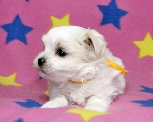 マルチーズの子犬(ID:1247611109)の3枚目の写真/更新日:2017-02-07
