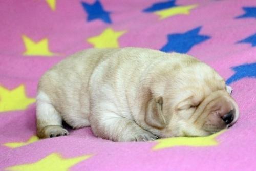 ラブラドールレトリバーの子犬(ID:1247611110)の2枚目の写真/更新日:2017-01-27