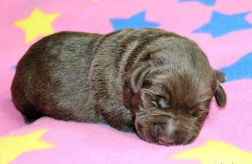 ラブラドールレトリバーの子犬(ID:1247611112)の3枚目の写真/更新日:2017-01-27