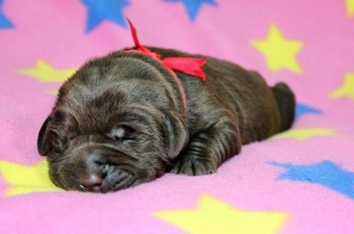 ラブラドールレトリバーの子犬(ID:1247611113)の1枚目の写真/更新日:2017-01-27