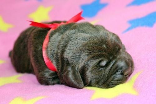 ラブラドールレトリバーの子犬(ID:1247611113)の2枚目の写真/更新日:2017-01-27