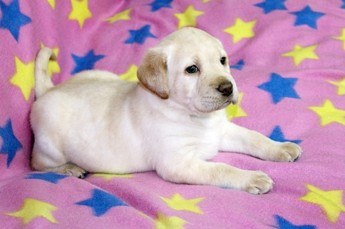 ラブラドールレトリバーの子犬(ID:1247611114)の1枚目の写真/更新日:2017-03-10