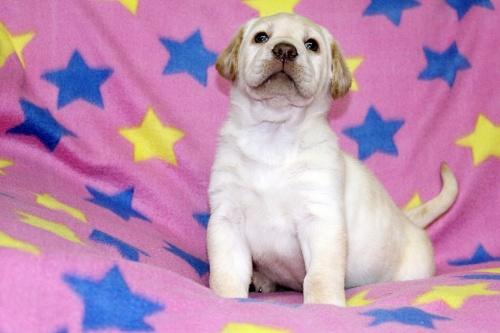ラブラドールレトリバーの子犬(ID:1247611114)の2枚目の写真/更新日:2017-02-22