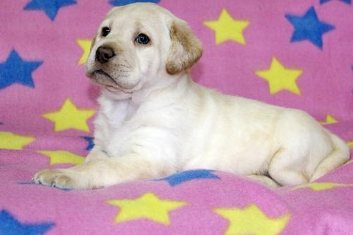 ラブラドールレトリバーの子犬(ID:1247611114)の3枚目の写真/更新日:2017-02-22